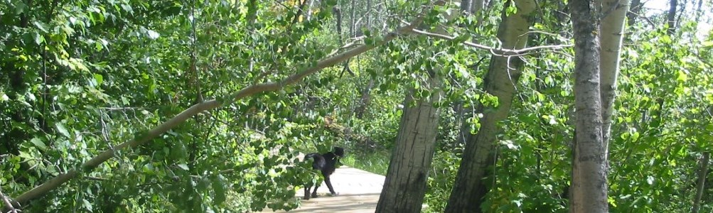 A black wolf in a clearing by the lake in the midst of a green forest