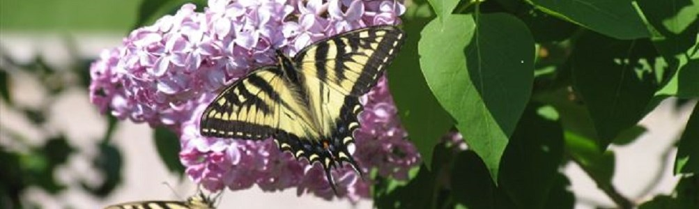 Lilac with a butterfly