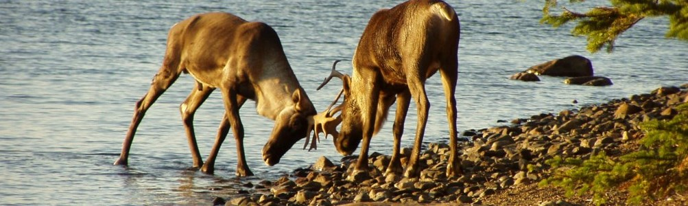 Two reindeer ramming their horns on the banks of a lake