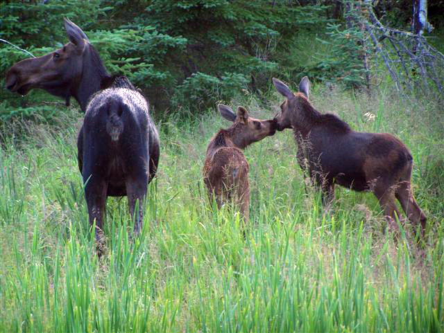 Three moose standing in a woods